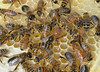 A peek into the hive. Here you see a young queen in the center, a few drones (stockier, larger eyes) and the rest are workers.  The glistening liquid in cells are honey.