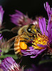 A honey bee on new England aster.   A cropped photo of the previous one.