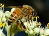 "A honey bee on ""bee bee tree"" flowers.  Evodia danielli, family Rutaceae (same family as oranges).   Simply the most attractive flowers to bees. I have seen over 20 bees on a  single inflorescence."