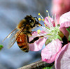 A honey bee on an ornamental peach flower. Publiched as cover photo in Journal of Experimental Biology Sep 2004 [207 (19)], Current Biology.  Also used by the BeeSpace web at University of Illinois at Urbana-Champaign.